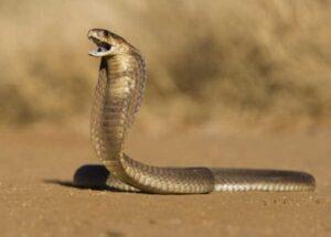 Giải mã giấc chiêm bao thấy rắn hổ mang ?