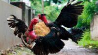 Nằm mơ thấy gà trống đánh con gì? Điềm báo nằm mơ thấy gà trống?